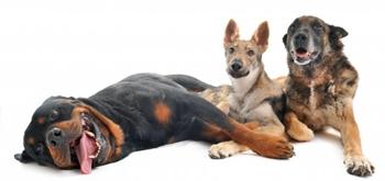 Image chiens